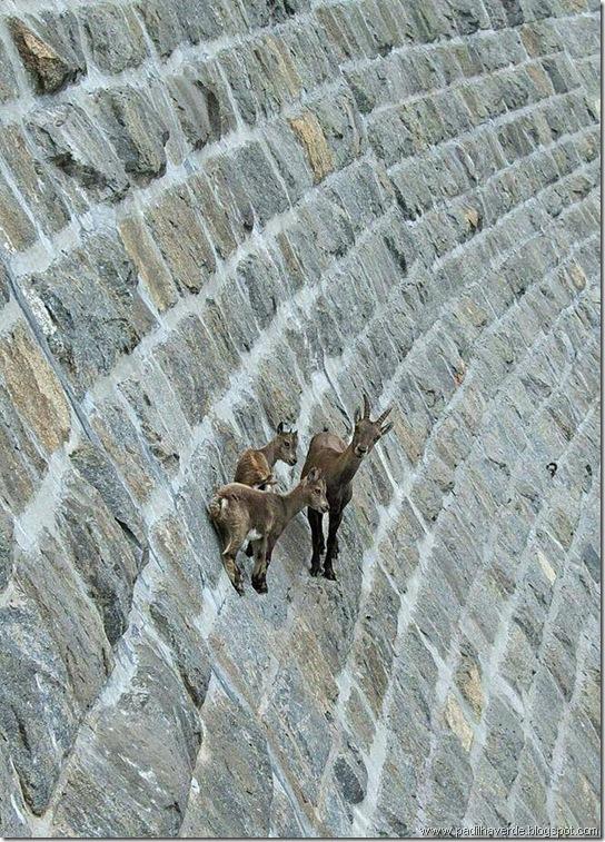 cabras2