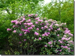 Rhododendron on the BRP