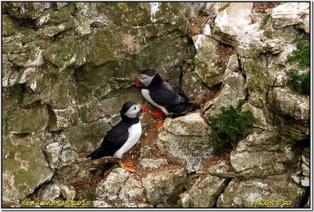 Bempton Cliffs RSPB - May