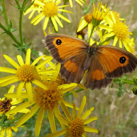 Gatekeeper Butterfly by Ian Popple - Animals Insects & Spiders ( yellow flowers, butterfly, colourful, air, summertime )
