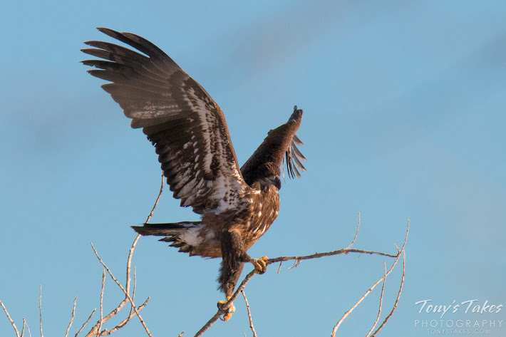 A juvenile Bald Eagle grasps a small branch in an attempt to land.  (© Tony's Takes)