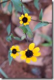 Black Eyed Susans-2