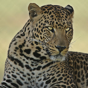 Watching by Charmane Baleiza - Animals Lions, Tigers & Big Cats ( charmane baleiza, big cats, wildlife, male leopard, leopard )
