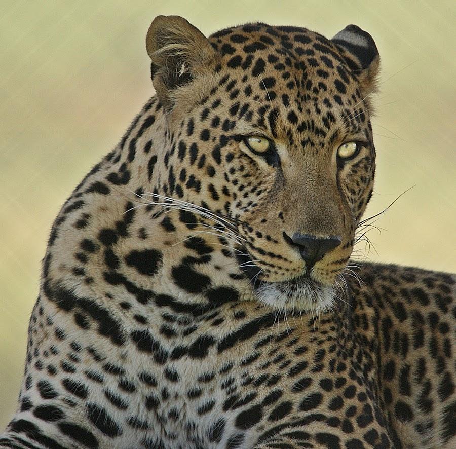 Watching by Charmane Baleiza - Animals Lions, Tigers & Big Cats ( charmane baleiza, big cats, wildlife, male leopard, leopard )