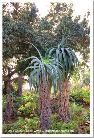 141227_Huntington_0150-Aloe-speciosa