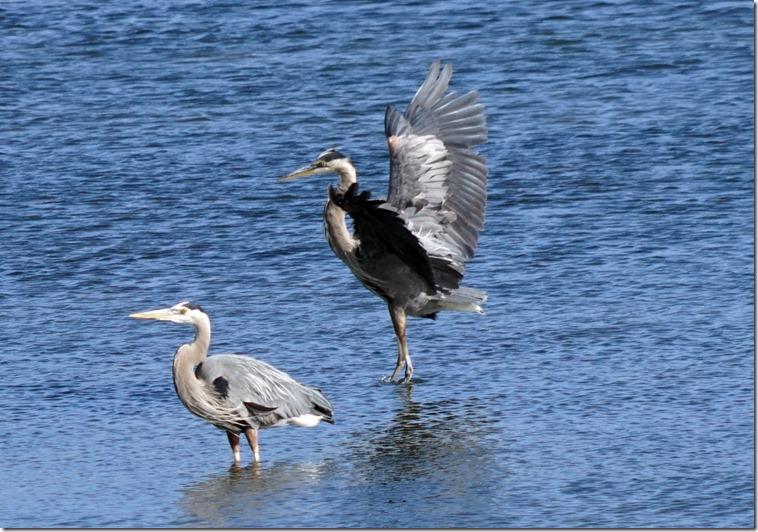 anacortes blue heron 061715 00000