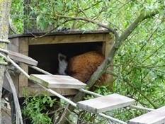 2015.04.27-060 panda roux