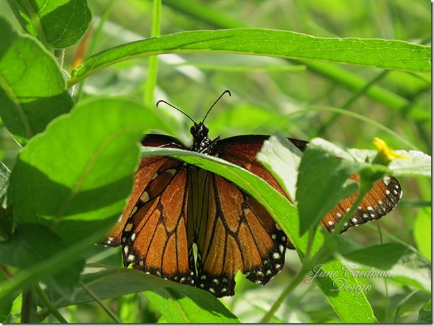 Queen_Butterfly3