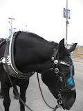A horse giving carriage rides in St Louis 03192011