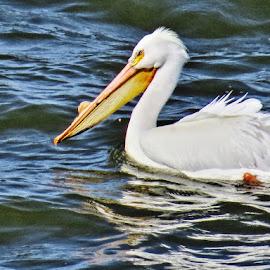 Pelican at Harlan lake by Rita Flohr - Novices Only Wildlife ( bird, large bird, nature, white pelican, wildlife, lake, pelican,  )