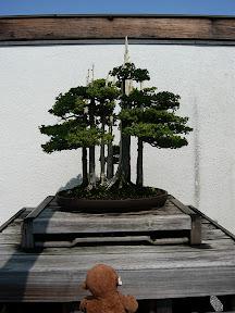 CM Bonsai #8