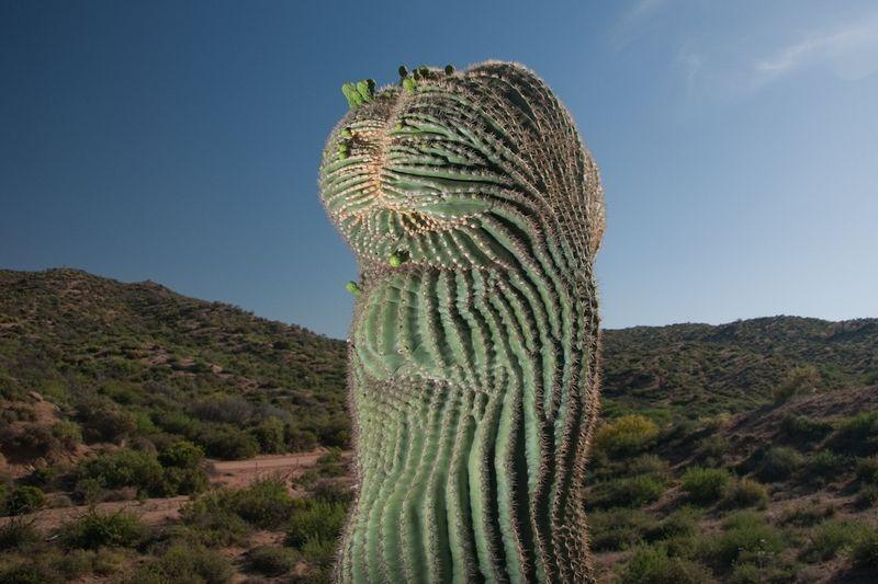 crested-saguaros-6