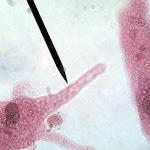 ameba02.jpg