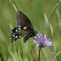 California Pipevine Swallowtail
