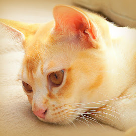 Tom by Caroline Beaumont - Animals - Cats Portraits ( orange, kitten, cat, red, burmese, eyes )