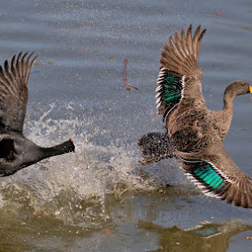 The Chase by Louis Pretorius - Animals Birds (  )