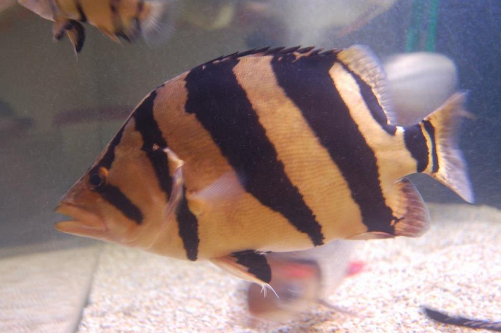 [be-ca-canh-thin_bar_tigerfish_cathai%255B5%255D.jpg]