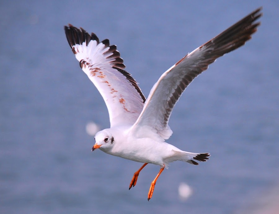 SEA GULL by AMOL PATIL - Animals Birds