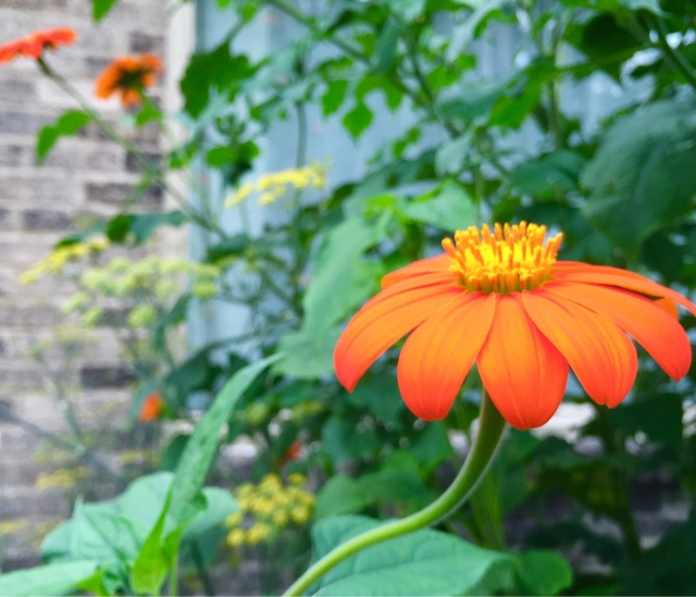 Wife, Mother, Gardener: Mexican Sunflowers, Tithonia rotundifolia