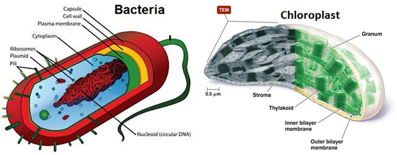 Similarity between bacteria and chloroplast