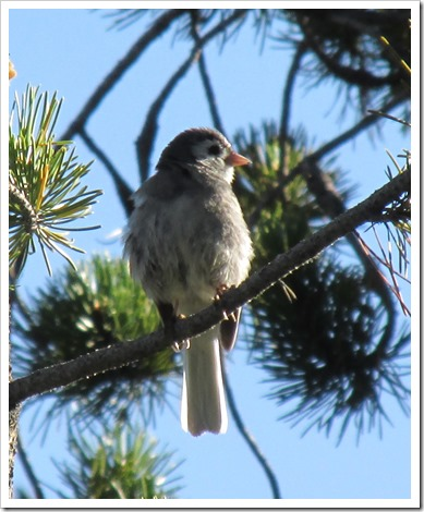 2015-07-23 Wyoming, Foxpark - Leucistic Junco Bird (5)