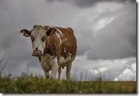 Vaca primaveral