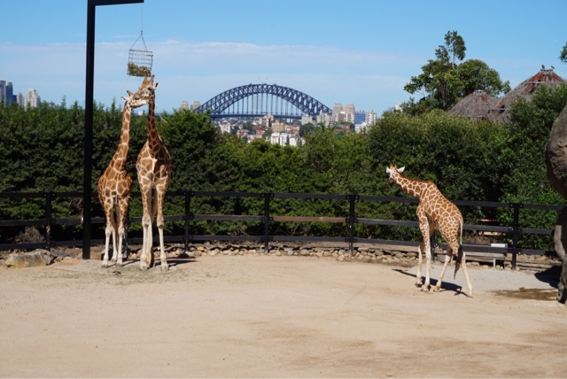 taronga zoo sydney australia giraffe harbour bridge