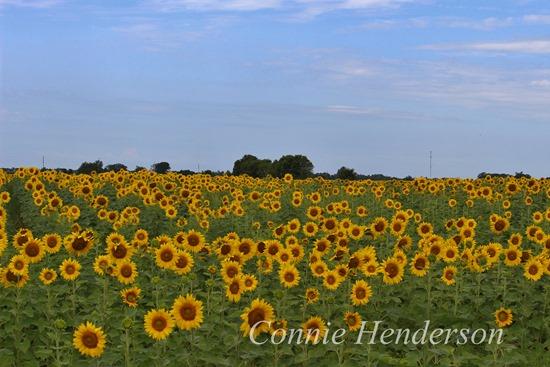Sunflower field near Wadena Minnesota July 22 2015
