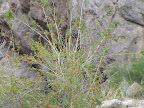Thurber's Desert Honeysuckle - Buehman Canyon 4/22
