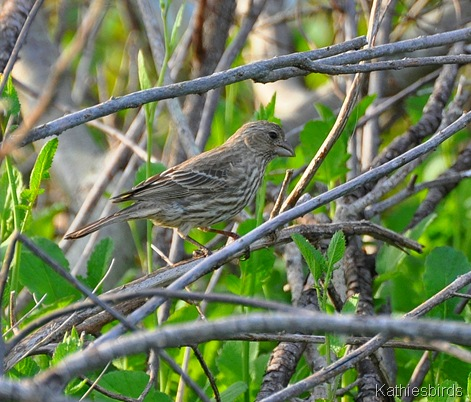 4. house finch-kab