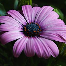 by Dipali S - Digital Art Things ( osteospermum, macro, asteraceae, nature, purple, flora, bright, african daisy, closeup )