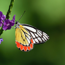 Delias Eucharis or The Common Jezebel by Tosh Tiwari - Animals Insects & Spiders ( delias, insecta, pieridae, animalia, lepidoptera, pierid butterfly, delias eucharis, arthropoda, the common jezebel )