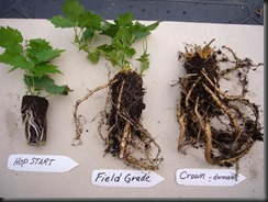 Hops growing from Rhizomes.   Easy to transplant.