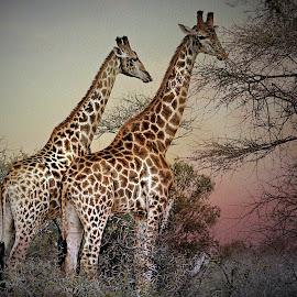 Giraffe at Sunset by Pieter J de Villiers - Animals Other