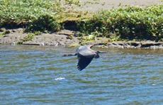 Quillayute River, Blue Heron