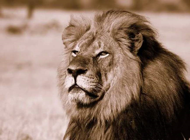Cecil the lion and Hwange park icon. Photo: African Bush Camps