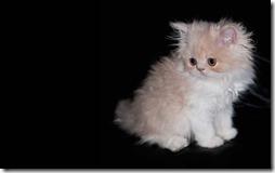 77- gatos blanco o crema (5)- buscoimagenes