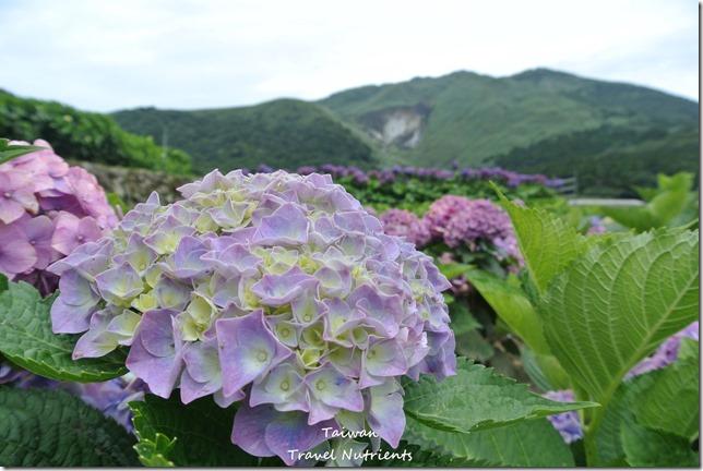 陽明山繡球花 (21)