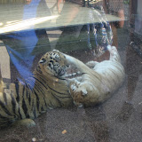 TIGERS Preservation Station - Myrtle Beach - 040510 - 21