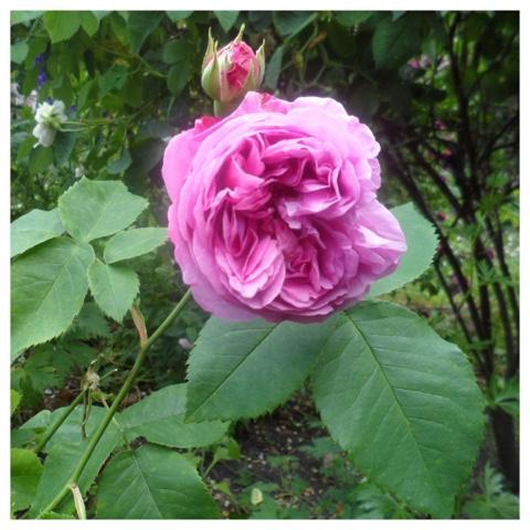 L&e blomster: rosenfest del 2