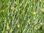 Hopi Tea blooms, close-up 4/15