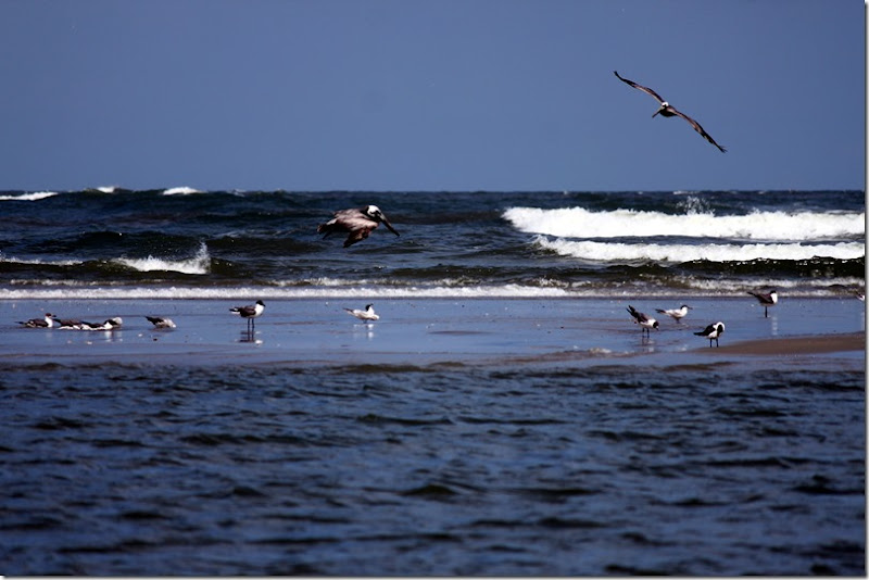 Beach Pelicans and Sea Gulls Isle of Palms, SC