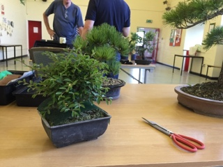 chinese elm bonsai, bonsai scissors, pine bonsai