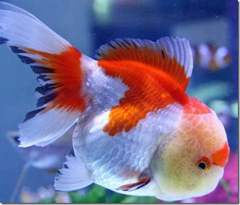 red-white-oranda-goldfish