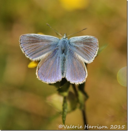 11-common-blue