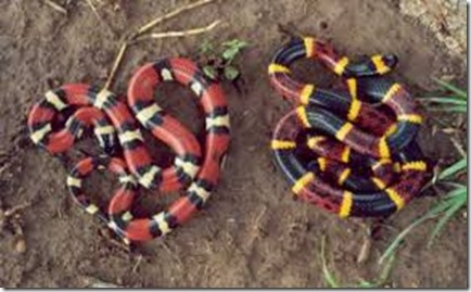 whole-dude-whole-colors-coral-snakes-600x360