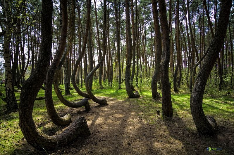 crooked-forest-poland-3