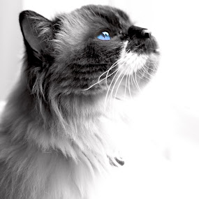by Bevlea Ross - Animals - Cats Portraits (  )