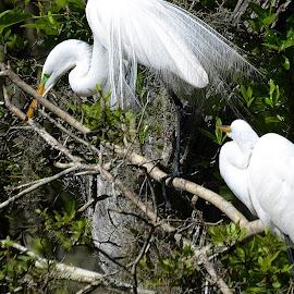 Nesting Great Egrets by Dennis Rubin - Animals Birds ( great egrets, great, nesting, great egret pair, 2015, sc, gardens, 2015-04-21, egrets, spring, south carolina, magnolia )