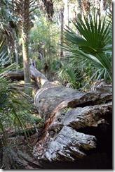 Large fallen tree-2